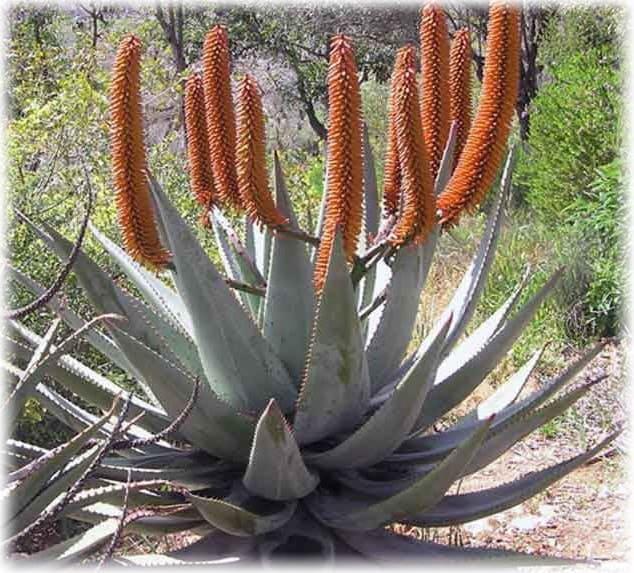 комнатное растение из рода алоэ 9 букв