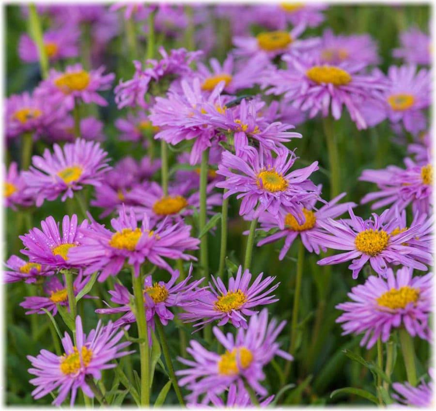 Цветы астра