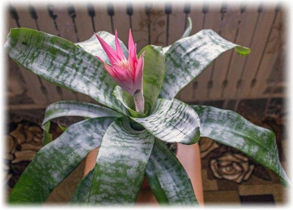 Комнатные цветы фото и названия эхмея