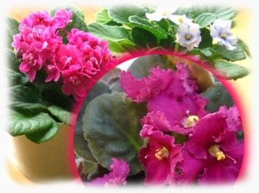 Комнатные цветы из семян: как вырастить в домашних условиях 32