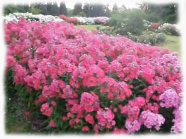 Многолетние цветы фото посадка