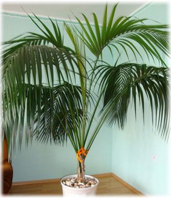 какая почва нужна для финиковой пальмы в домашних условиях
