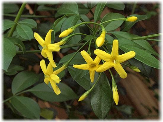 комнатный цветок жасмин многоцветковый непатентованное название Мне