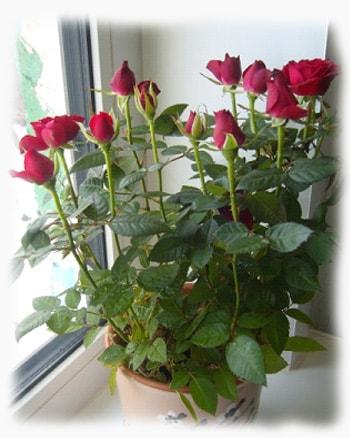 Роза комнатная не цветет
