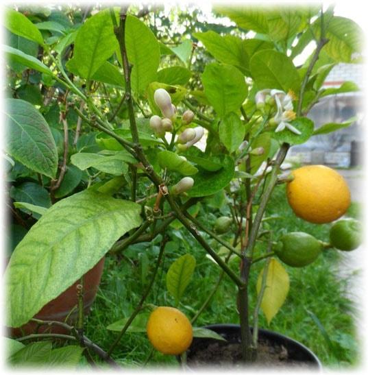комнатный цветок с листьями как у лимона