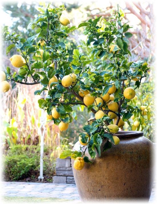уход за лимоном комнатным во время цветения