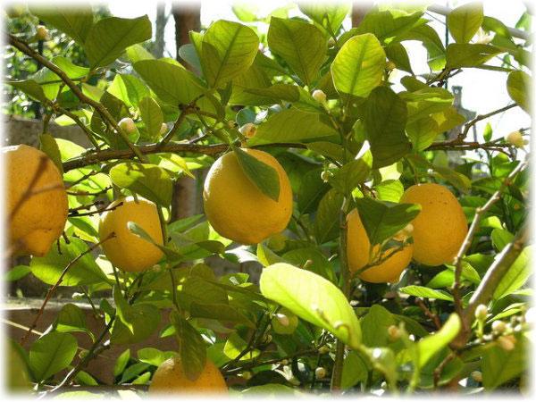 лимон комнатный москва где купить в москве