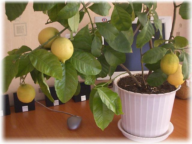 Описание стебля лимона