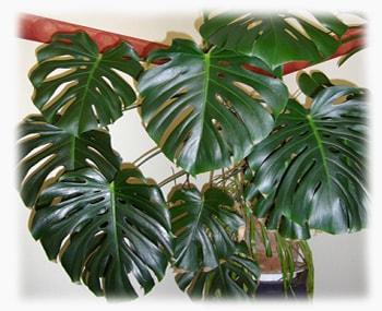 Монстера комнатные растения