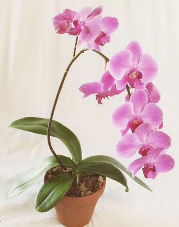 neprihotlivye-falenopsis.jpg