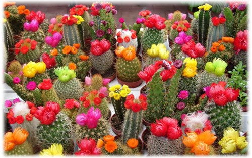 neprihotlivye-kaktus.jpg