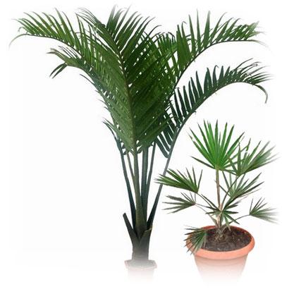 Домашняя пальма уход в домашних условиях фото 61