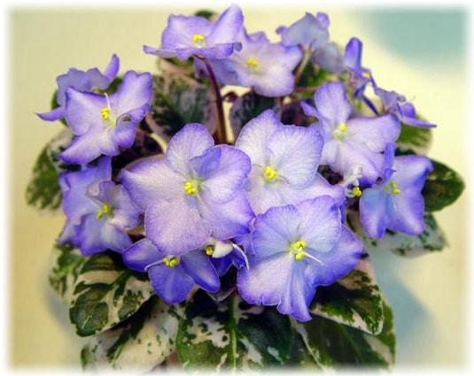 как посадить фиалки из семян в домашних условиях