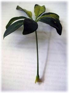 Цветок шеффлера размножение 39